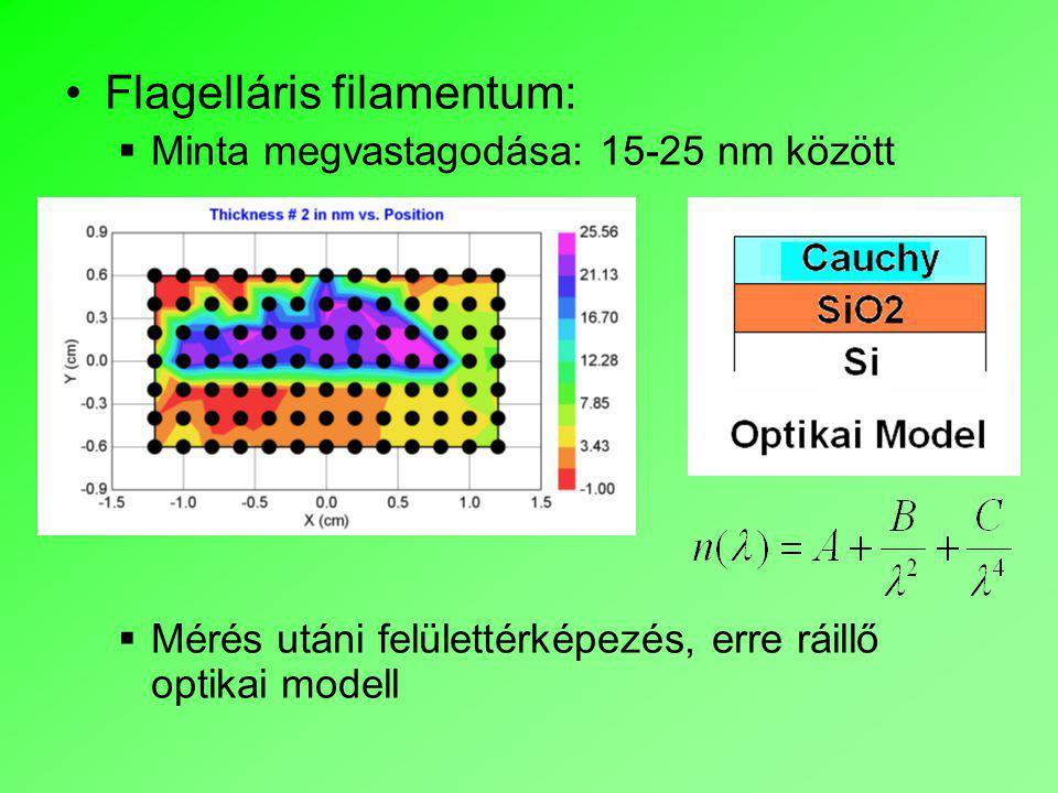 Flagelláris filamentum:  Minta megvastagodása: 15-25 nm között  Mérés utáni felülettérképezés, erre ráillő optikai modell