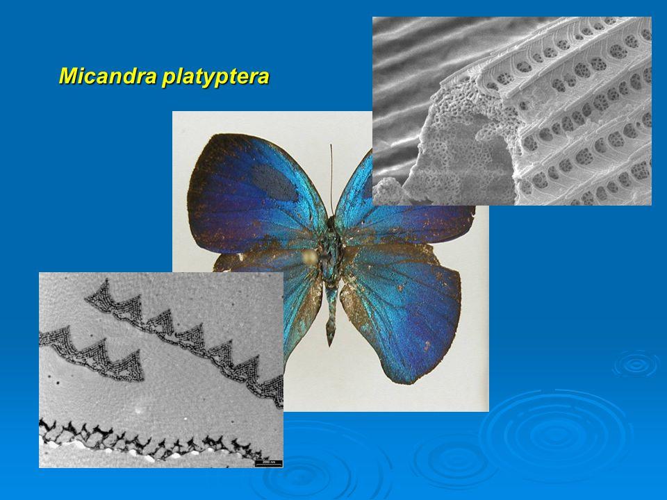 Micandra platyptera