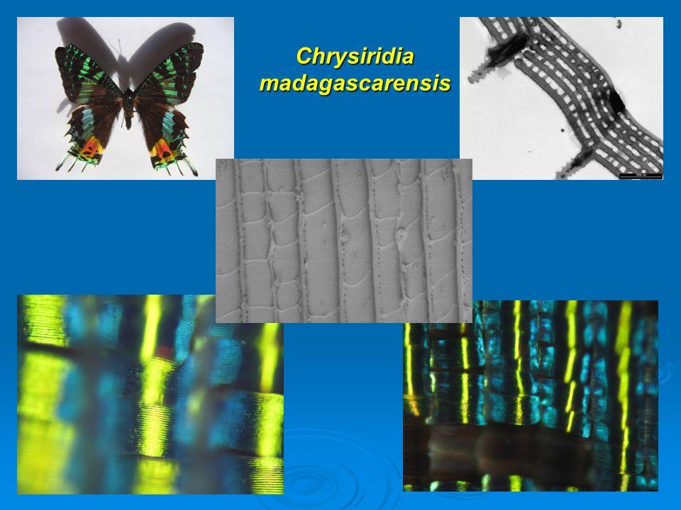 Chrysiridia madagascarensis