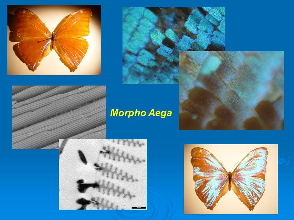 Morpho Aega