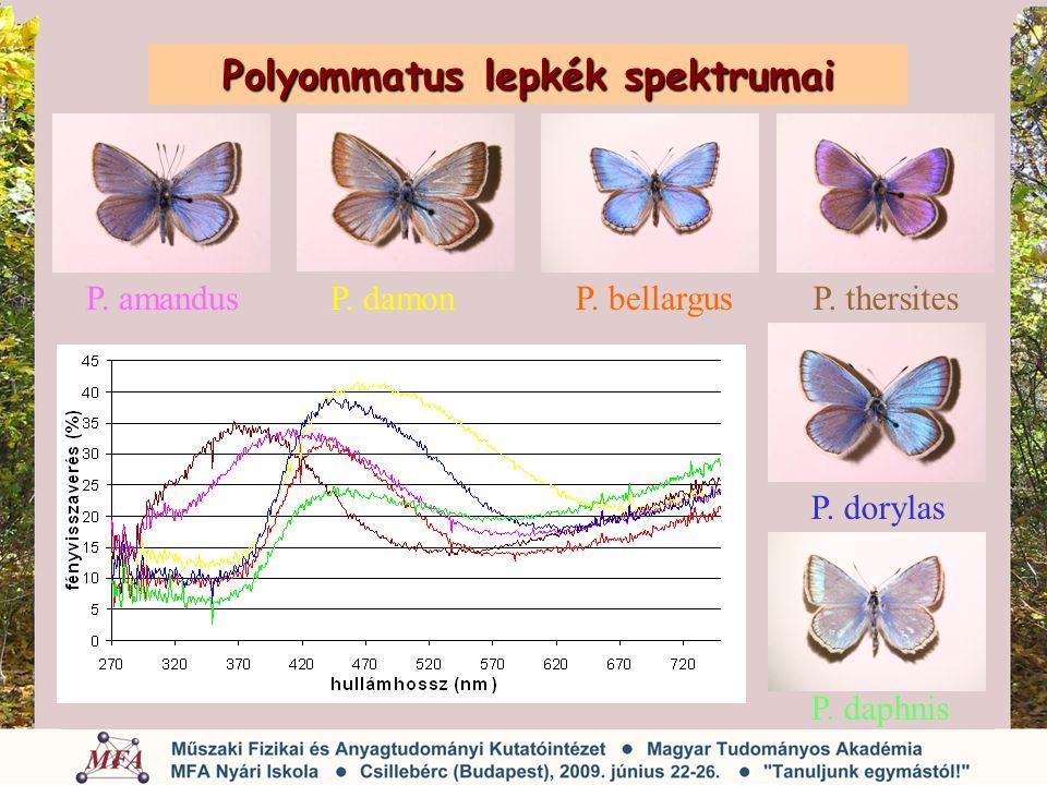 Polyommatus lepkék spektrumai P. amandusP. damonP. bellargusP. thersites P. dorylas P. daphnis
