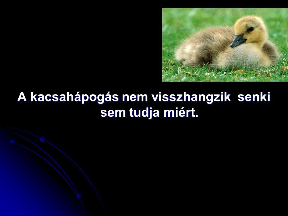 A kacsahápogás nem visszhangzik senki sem tudja miért.
