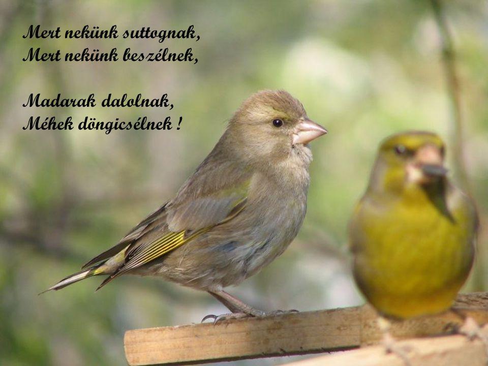 Mert nekünk suttognak, Mert nekünk beszélnek, Madarak dalolnak, Méhek döngicsélnek !