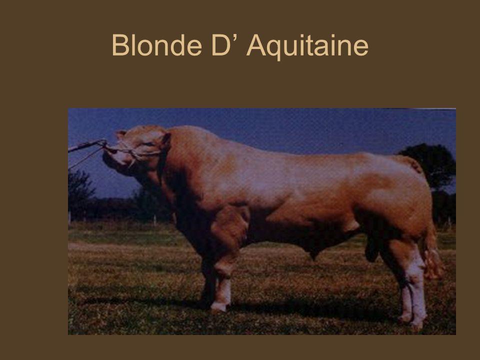 Blonde D' Aquitaine