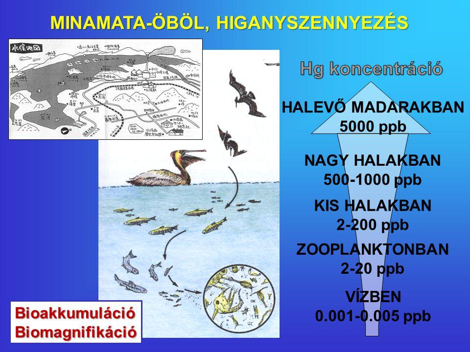 VÍZBEN 0.001-0.005 ppb ZOOPLANKTONBAN 2-20 ppb KIS HALAKBAN 2-200 ppb NAGY HALAKBAN 500-1000 ppb HALEVŐ MADARAKBAN 5000 ppb MINAMATA-ÖBÖL, HIGANYSZENNYEZÉS BioakkumulációBiomagnifikáció