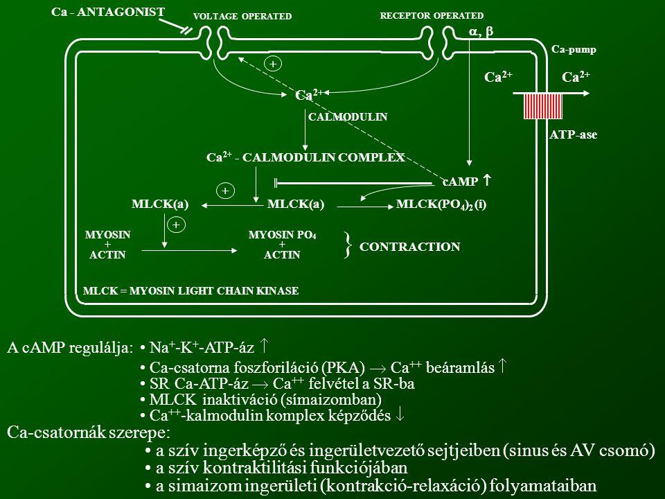 Ca-pump Ca 2+ ATP-ase Ca 2+ Ca 2+ - CALMODULIN COMPLEX CALMODULIN cAMP  MLCK(a) MLCK(PO 4 ) 2 (i) MLCK = MYOSIN LIGHT CHAIN KINASE MYOSIN + ACTIN MYOSIN PO 4 + ACTIN } CONTRACTION Ca - ANTAGONIST VOLTAGE OPERATED RECEPTOR OPERATED  + + + A cAMP regulálja: Na + -K + -ATP-áz  Ca-csatorna foszforiláció (PKA)  Ca ++ beáramlás  SR Ca-ATP-áz  Ca ++ felvétel a SR-ba MLCK inaktiváció (símaizomban) Ca ++ -kalmodulin komplex képződés  Ca-csatornák szerepe: a szív ingerképző és ingerületvezető sejtjeiben (sinus és AV csomó) a szív kontraktilitási funkciójában a simaizom ingerületi (kontrakció-relaxáció) folyamataiban