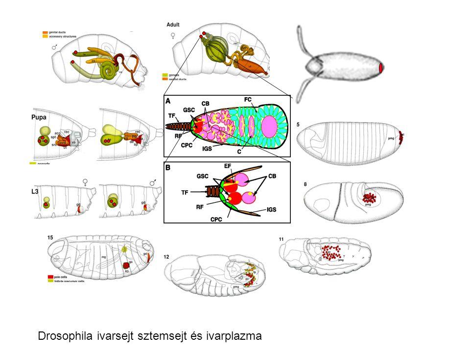 Drosophila ivarsejt sztemsejt és ivarplazma