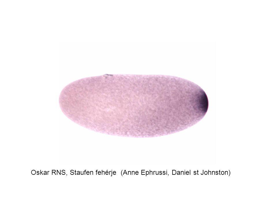 Oskar RNS, Staufen fehérje (Anne Ephrussi, Daniel st Johnston)