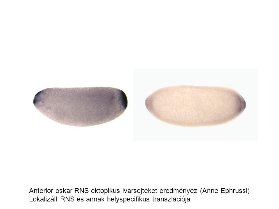 Anterior oskar RNS ektopikus ivarsejteket eredményez (Anne Ephrussi) Lokalizált RNS és annak helyspecifikus transzlációja