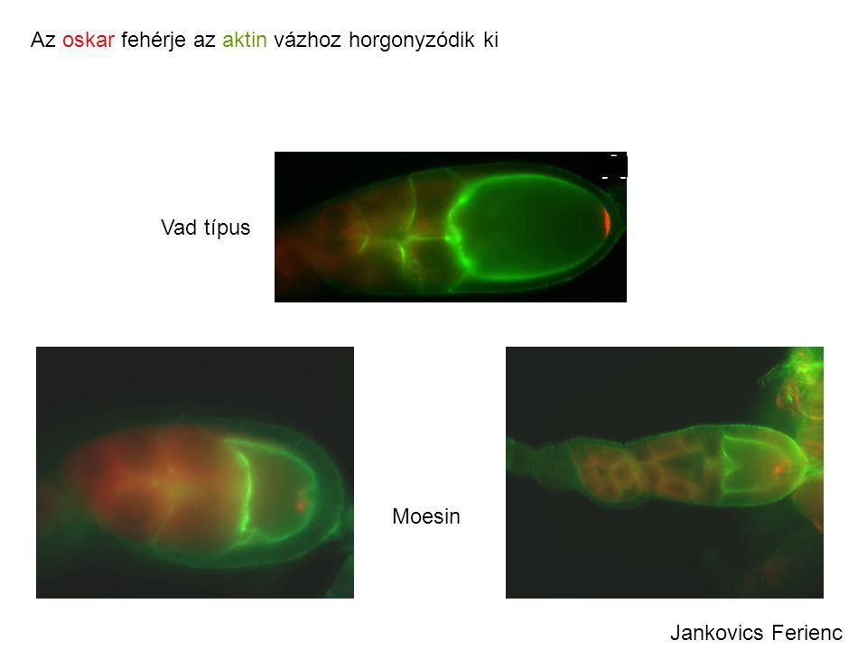 Az oskar fehérje az aktin vázhoz horgonyzódik ki Vad típus Moesin Jankovics Ferienc
