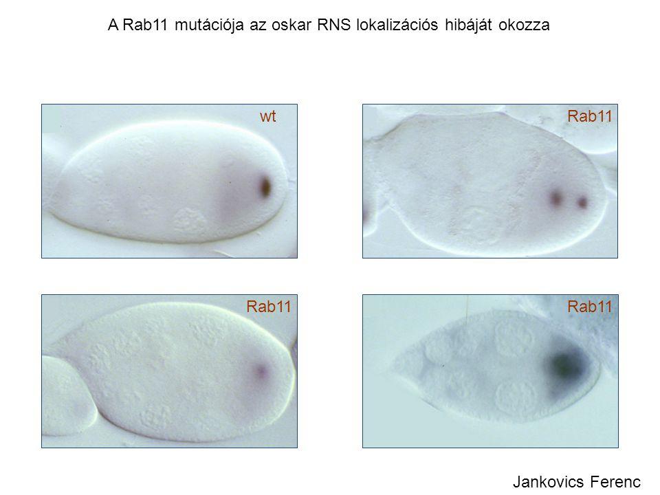 Rab11wt Rab11 A Rab11 mutációja az oskar RNS lokalizációs hibáját okozza Jankovics Ferenc