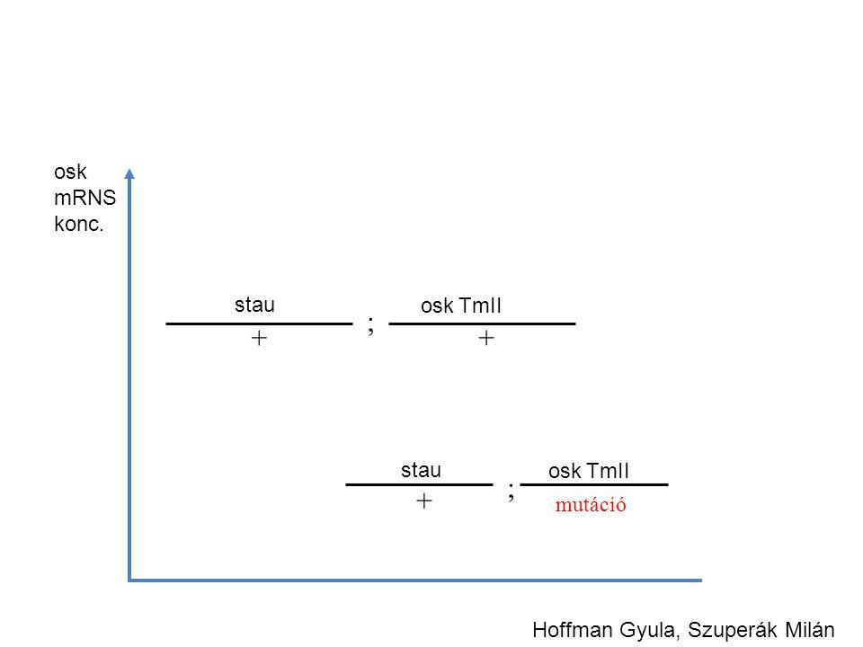 osk mRNS konc. Hoffman Gyula, Szuperák Milán stau + ; osk TmII mutáció osk TmII ; stau + +