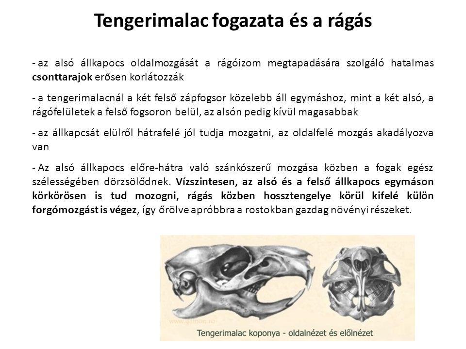 - az alsó állkapocs oldalmozgását a rágóizom megtapadására szolgáló hatalmas csonttarajok erősen korlátozzák - a tengerimalacnál a két felső zápfogsor