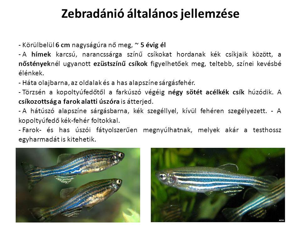 - Körülbelül 6 cm nagyságúra nő meg, ~ 5 évig él - A hímek karcsú, narancssárga színű csíkokat hordanak kék csíkjaik között, a nőstényeknél ugyanott e