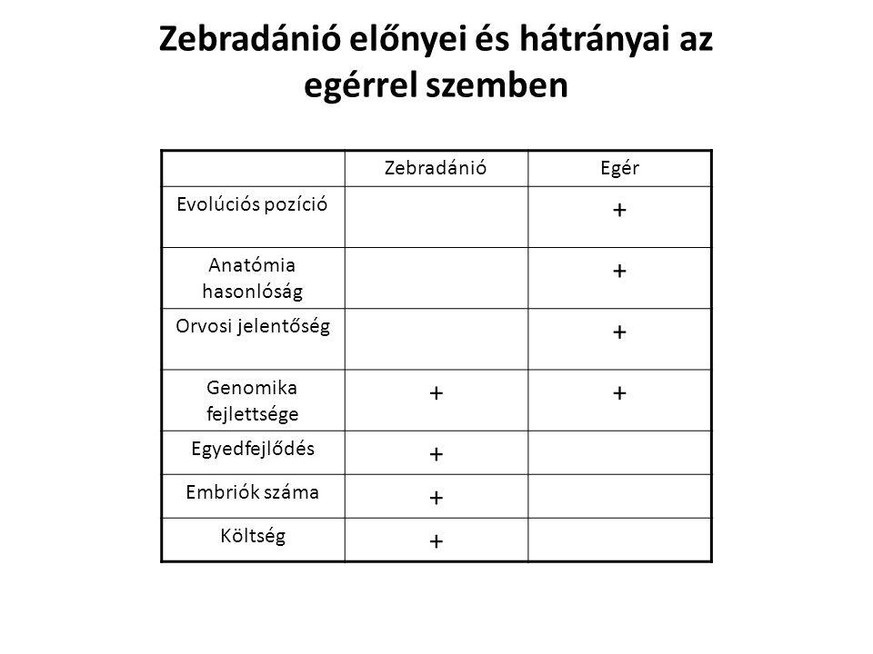 Zebradánió előnyei és hátrányai az egérrel szemben ZebradánióEgér Evolúciós pozíció + Anatómia hasonlóság + Orvosi jelentőség + Genomika fejlettsége +