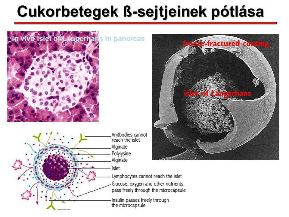 Cukorbetegek ß-sejtjeinek pótlása In vivo Islet of Langerhans in pancreas