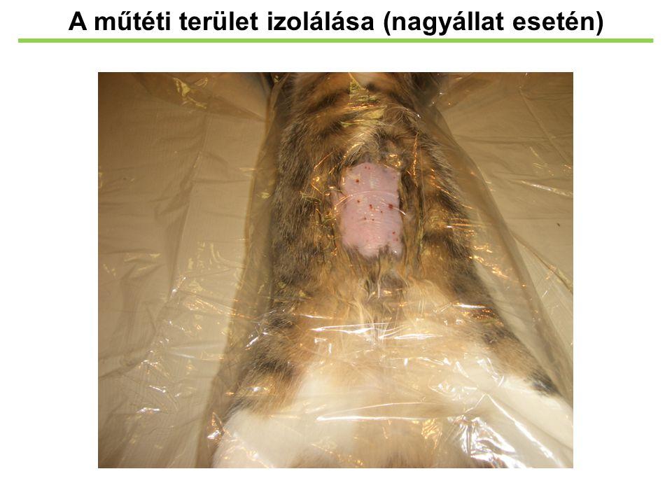 A műtéti terület izolálása (nagyállat esetén)