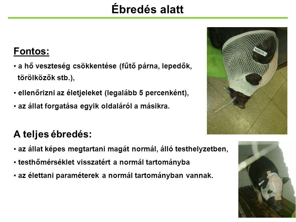 Fontos: a hő veszteség csökkentése (fűtő párna, lepedők, törölközők stb.), ellenőrizni az életjeleket (legalább 5 percenként), az állat forgatása egyi