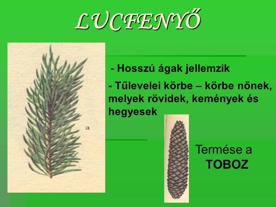 LUCFENYŐ - Hosszú ágak jellemzik - Tűlevelei körbe – körbe nőnek, melyek rövidek, kemények és hegyesek Termése a TOBOZ