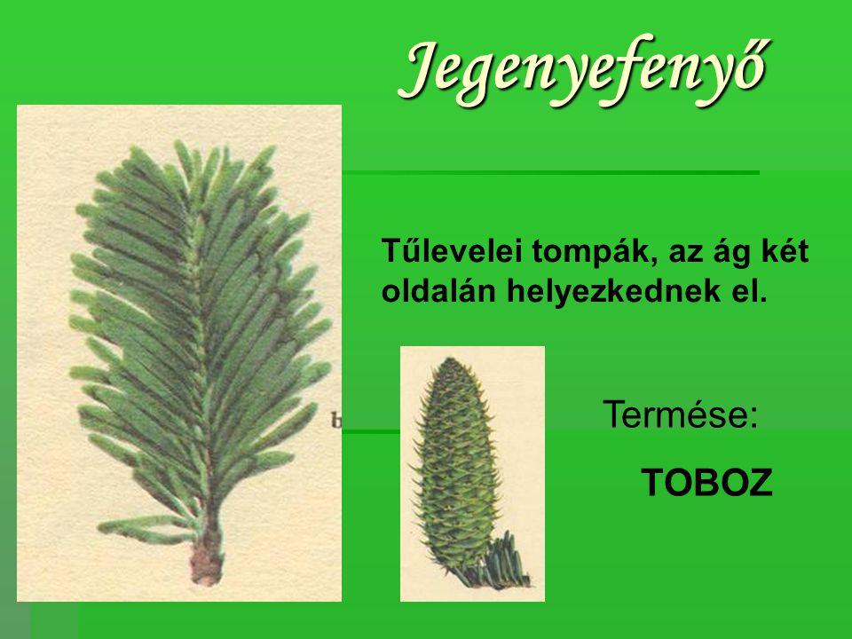 Vörösfenyő Magas növésű fa, lombhullató.