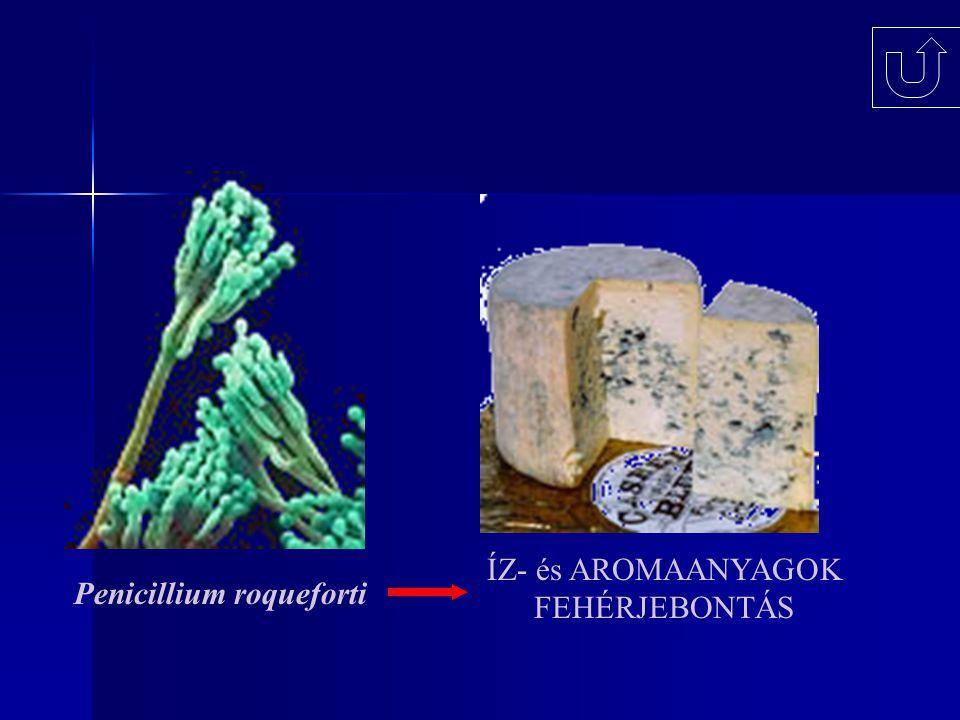 Penicillium roqueforti ÍZ- és AROMAANYAGOK FEHÉRJEBONTÁS
