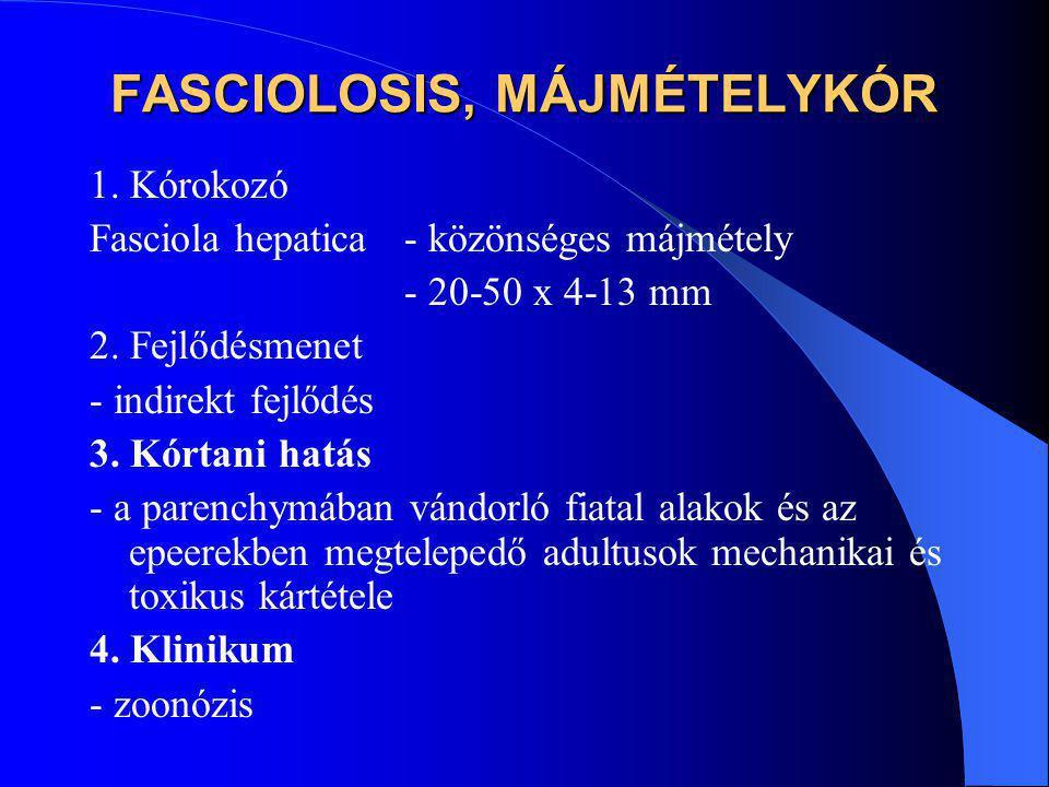 FASCIOLOSIS, MÁJMÉTELYKÓR 1. Kórokozó Fasciola hepatica - közönséges májmétely - 20-50 x 4-13 mm 2. Fejlődésmenet - indirekt fejlődés 3. Kórtani hatás