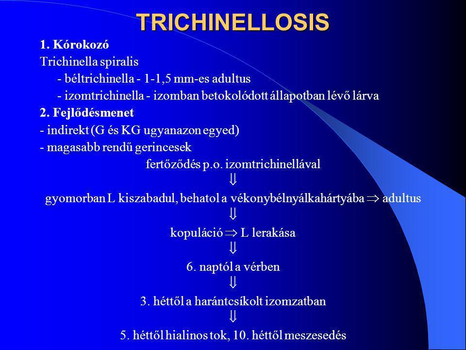 TRICHINELLOSIS 1. Kórokozó Trichinella spiralis - béltrichinella - 1-1,5 mm-es adultus - izomtrichinella - izomban betokolódott állapotban lévő lárva