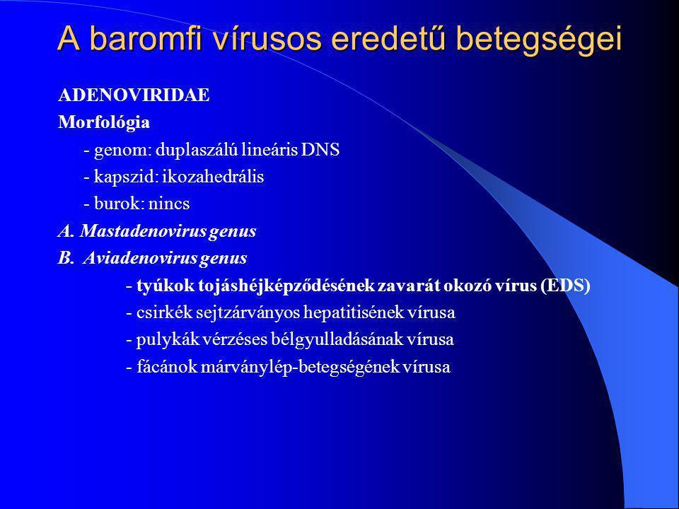 ADENOVIRIDAE Morfológia - genom: duplaszálú lineáris DNS - kapszid: ikozahedrális - burok: nincs A. Mastadenovirus genus B.Aviadenovirus genus - tyúko