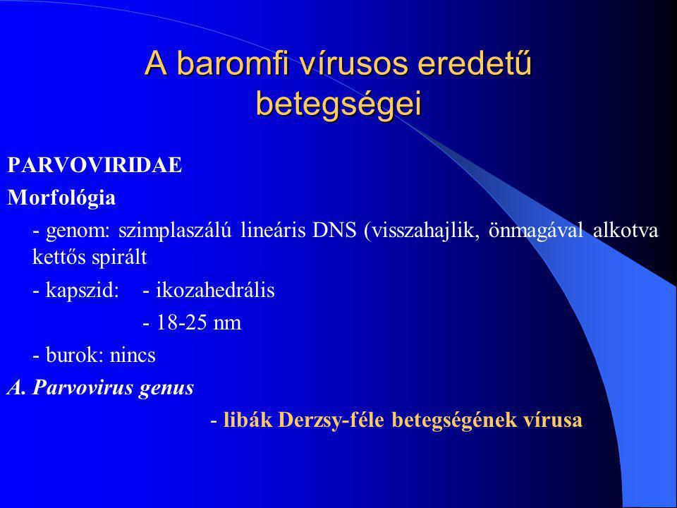 PARVOVIRIDAE Morfológia - genom: szimplaszálú lineáris DNS (visszahajlik, önmagával alkotva kettős spirált - kapszid: - ikozahedrális - 18-25 nm - bur
