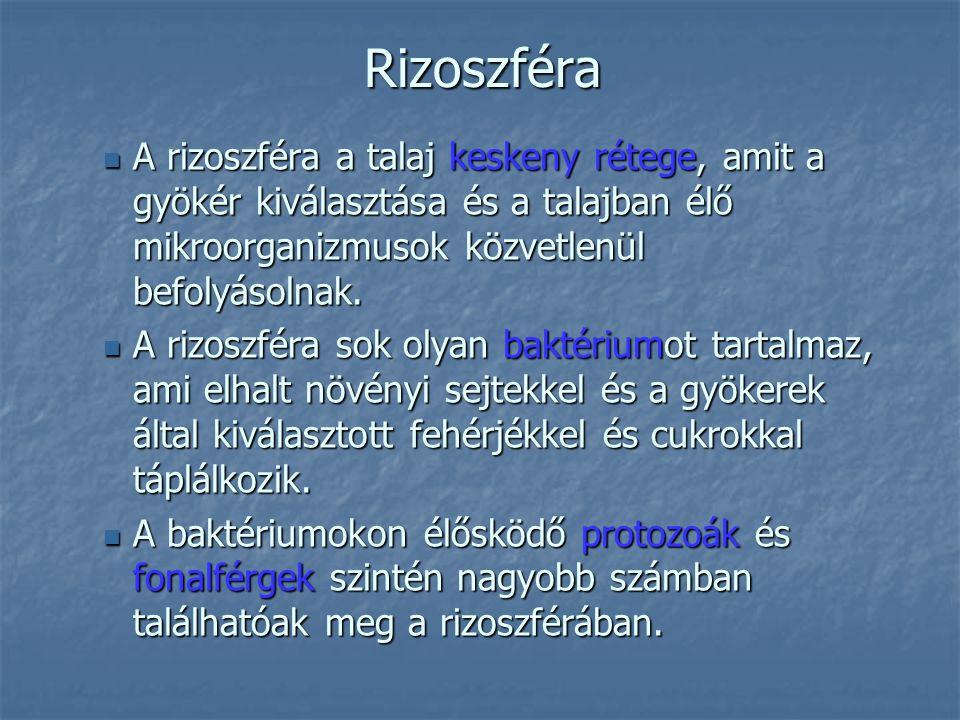 Rizoszféra A rizoszféra a talaj keskeny rétege, amit a gyökér kiválasztása és a talajban élő mikroorganizmusok közvetlenül befolyásolnak. A rizoszféra