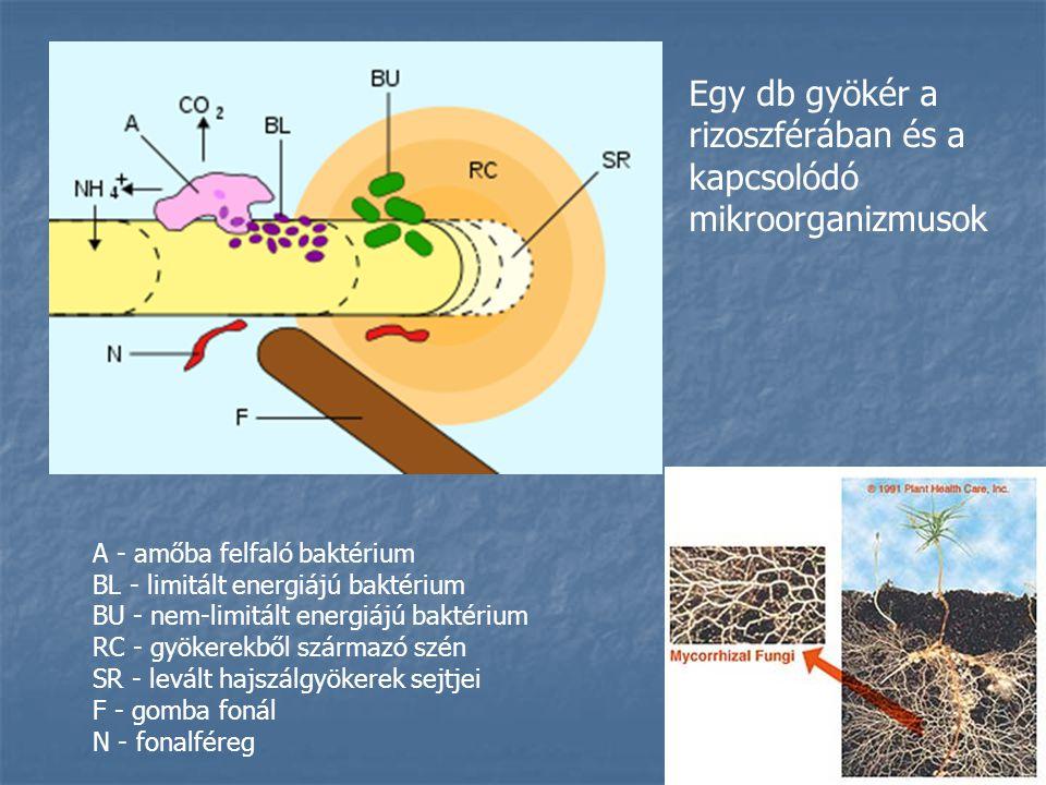 A - amőba felfaló baktérium BL - limitált energiájú baktérium BU - nem-limitált energiájú baktérium RC - gyökerekből származó szén SR - levált hajszálgyökerek sejtjei F - gomba fonál N - fonalféreg Egy db gyökér a rizoszférában és a kapcsolódó mikroorganizmusok