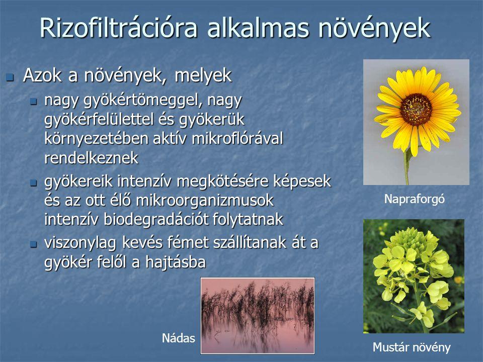 Rizofiltrációra alkalmas növények Azok a növények, melyek Azok a növények, melyek nagy gyökértömeggel, nagy gyökérfelülettel és gyökerük környezetében aktív mikroflórával rendelkeznek nagy gyökértömeggel, nagy gyökérfelülettel és gyökerük környezetében aktív mikroflórával rendelkeznek gyökereik intenzív megkötésére képesek és az ott élő mikroorganizmusok intenzív biodegradációt folytatnak gyökereik intenzív megkötésére képesek és az ott élő mikroorganizmusok intenzív biodegradációt folytatnak viszonylag kevés fémet szállítanak át a gyökér felől a hajtásba viszonylag kevés fémet szállítanak át a gyökér felől a hajtásba Napraforgó Mustár növény Nádas