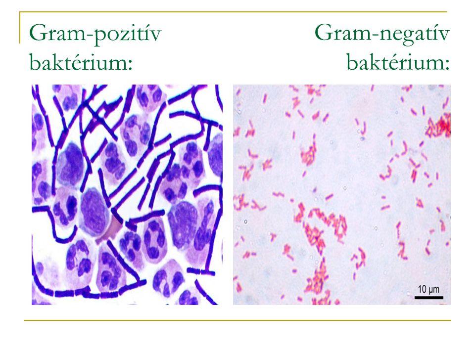 Gram-pozitív baktérium: Gram-negatív baktérium: