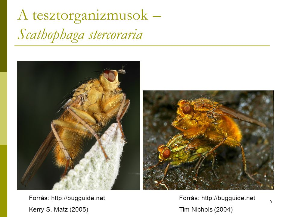 3 A tesztorganizmusok – Scathophaga stercoraria Forrás: http://bugguide.net Kerry S. Matz (2005) Forrás: http://bugguide.net Tim Nichols (2004)