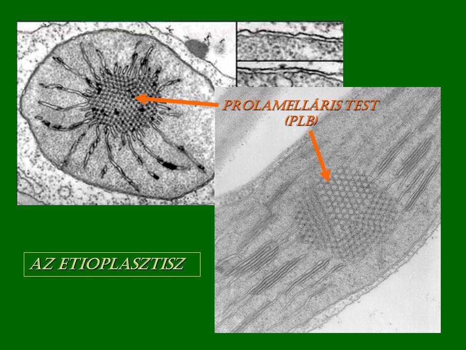 Az etioplasztisz Prolamelláris test (PLB)