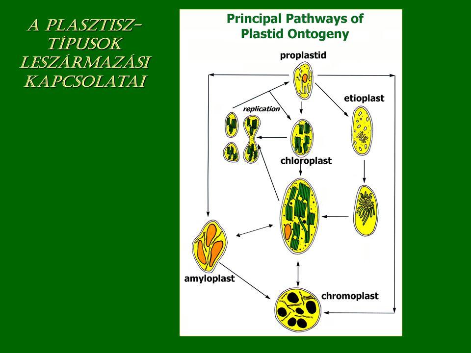 A plasztisz- típusok leszármazási kapcsolatai