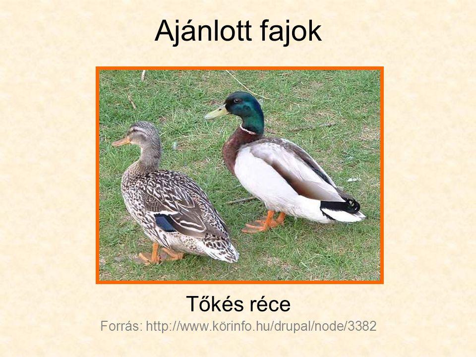 Ajánlott fajok Tőkés réce Forrás: http://www.körinfo.hu/drupal/node/3382