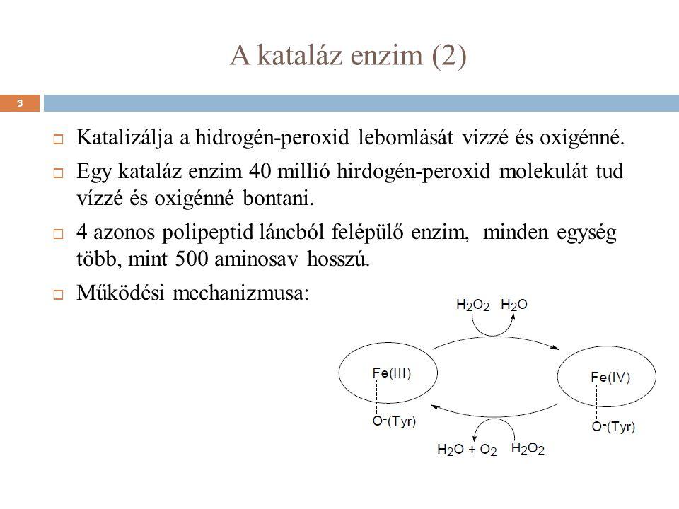 A kataláz enzim (2)  Katalizálja a hidrogén-peroxid lebomlását vízzé és oxigénné.  Egy kataláz enzim 40 millió hirdogén-peroxid molekulát tud vízzé