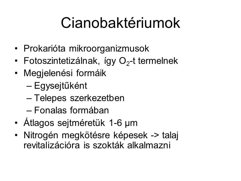 Cianobaktériumok Prokarióta mikroorganizmusok Fotoszintetizálnak, így O 2 -t termelnek Megjelenési formáik –Egysejtűként –Telepes szerkezetben –Fonala