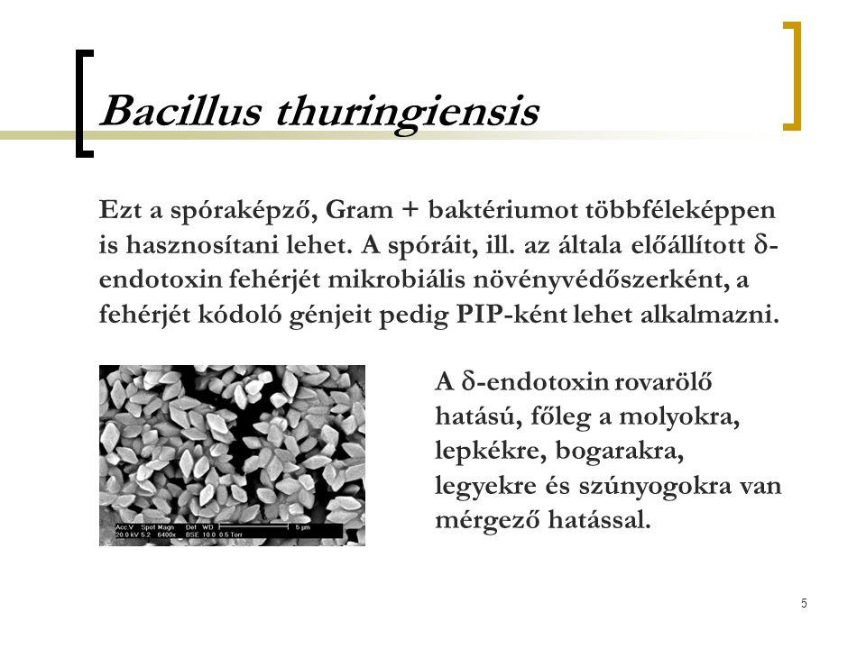5 Bacillus thuringiensis Ezt a spóraképző, Gram + baktériumot többféleképpen is hasznosítani lehet. A spóráit, ill. az általa előállított  - endotoxi