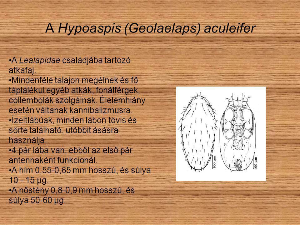 A Hypoaspis (Geolaelaps) aculeifer A Lealapidae családjába tartozó atkafaj.