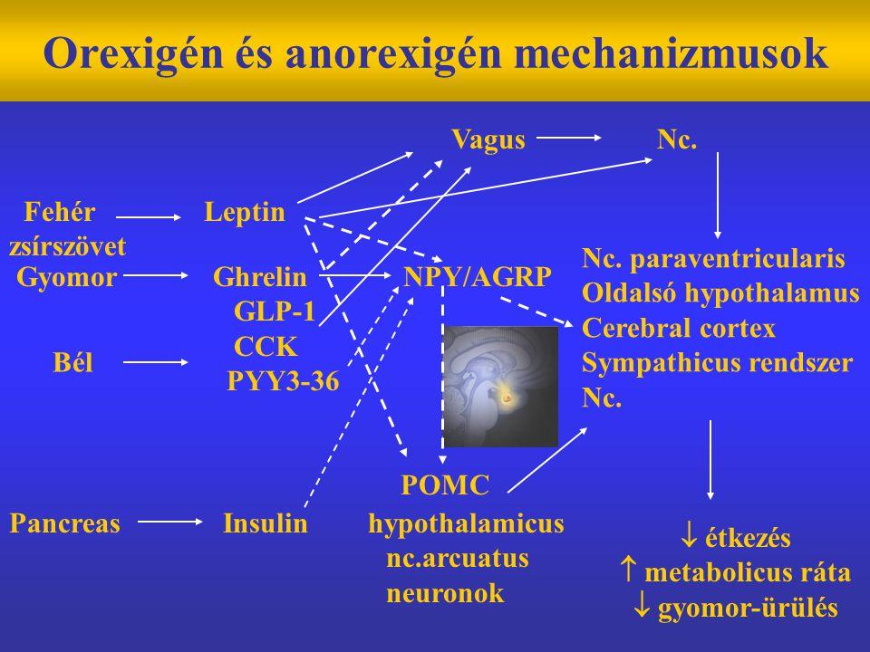 Orexigén és anorexigén mechanizmusok Fehér Leptin zsírszövet Gyomor Ghrelin NPY/AGRP GLP-1 CCK PYY3-36 POMC Bél Pancreas Insulin hypothalamicus nc.arcuatus neuronok Vagus Nc.