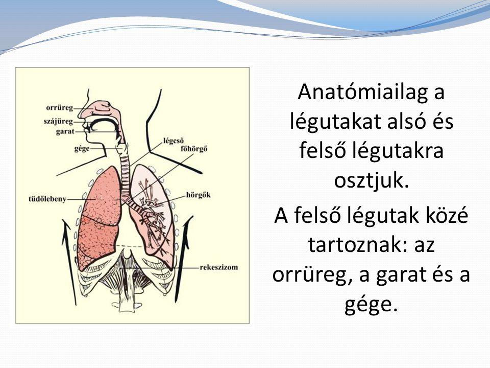 Anatómiailag a légutakat alsó és felső légutakra osztjuk. A felső légutak közé tartoznak: az orrüreg, a garat és a gége.