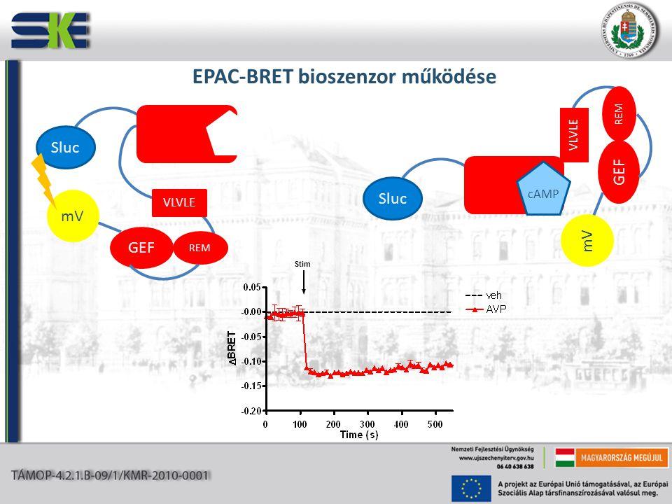 EPAC-BRET bioszenzor működése REM VLVLE GEF mV Sluc REM VLVLE GEF mV Sluc cAMP Stim