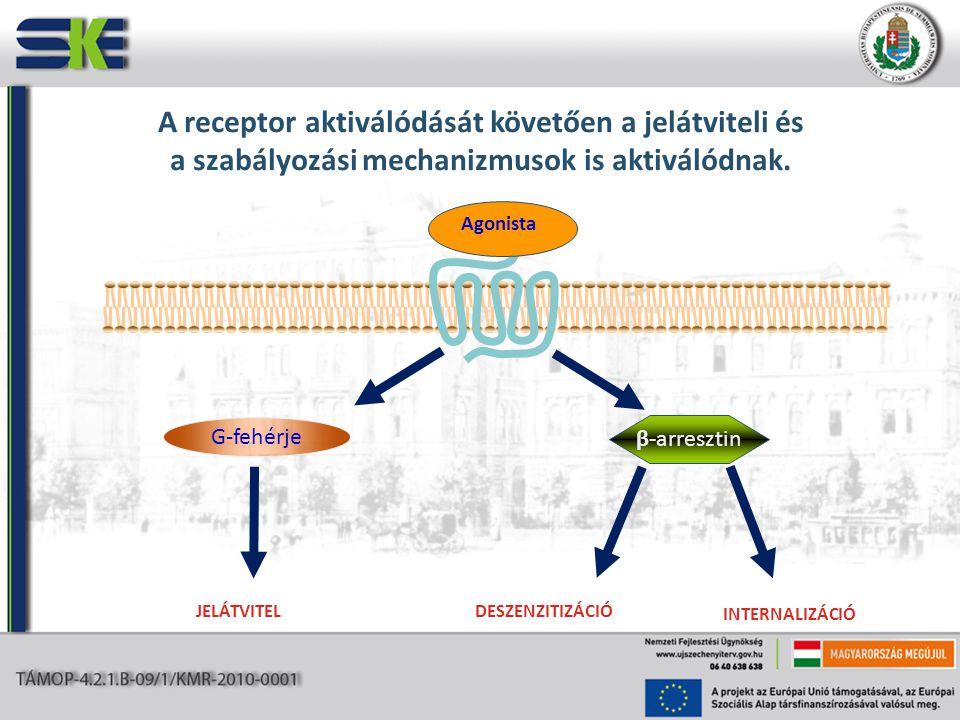 A receptor aktiválódását követően a jelátviteli és a szabályozási mechanizmusok is aktiválódnak.