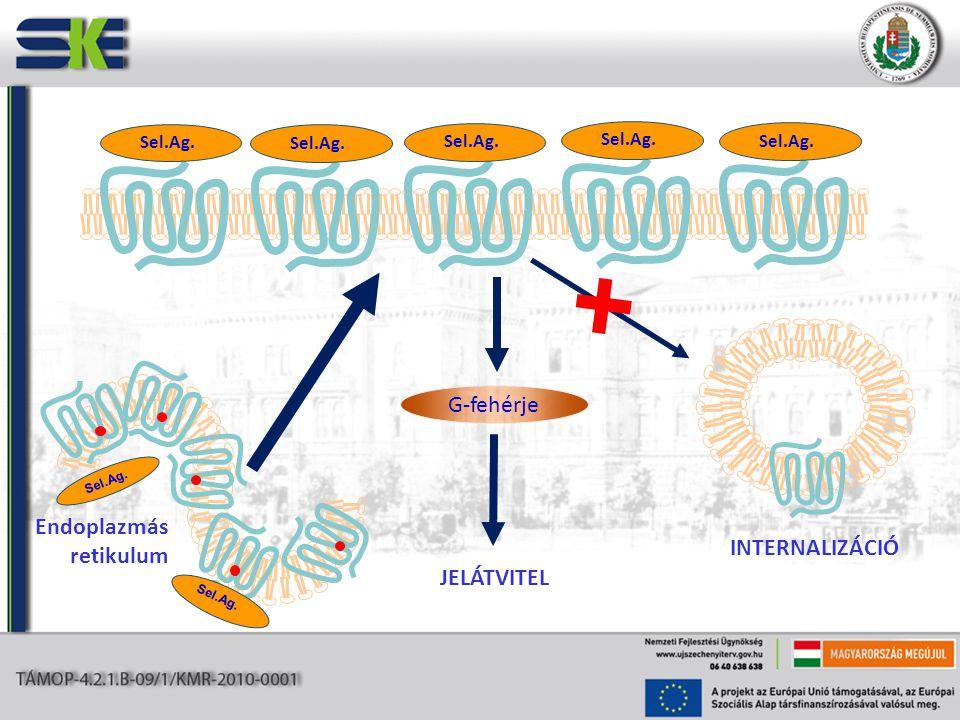G-fehérje JELÁTVITEL INTERNALIZÁCIÓ Sel.Ag. Endoplazmás retikulum Sel.Ag.
