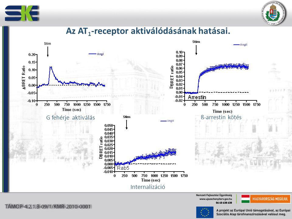 Az AT 1 -receptor aktiválódásának hatásai. G fehérje aktiválás ß-arrestin kötés Internalizáció Stim