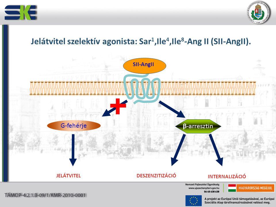 SII-AngII G-fehérje JELÁTVITEL INTERNALIZÁCIÓ DESZENZITIZÁCIÓ β-arresztin Jelátvitel szelektív agonista: Sar 1,Ile 4,Ile 8 -Ang II (SII-AngII).