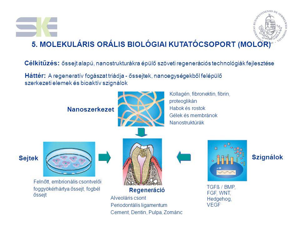 5. MOLEKULÁRIS ORÁLIS BIOLÓGIAI KUTATÓCSOPORT (MOLOR) Regeneráció Alveoláris csont Periodontális ligamentum Cement, Dentin, Pulpa, Zománc Kollagén, fi