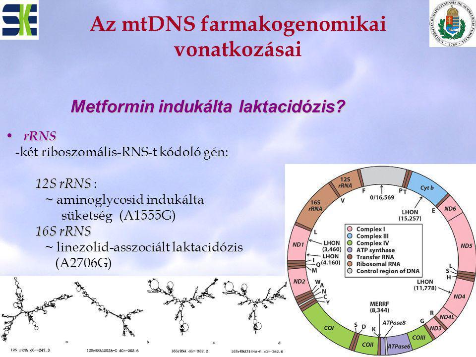 Az mtDNS farmakogenomikai vonatkozásai rRNS rRNS -két riboszomális-RNS-t kódoló gén: 12S rRNS 12S rRNS : ~ aminoglycosid indukálta süketség (A1555G) 1